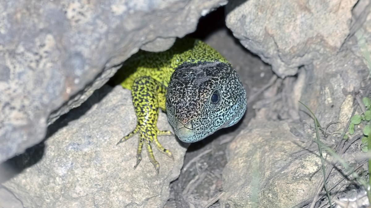 hagedis schuilt deels onder een rots